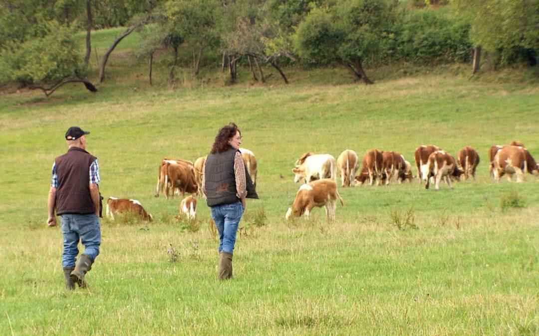 Wolne krowy istnieją!